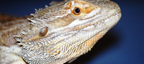 50 Fun Bearded Dragon Facts for Kids - Online Bearded ...